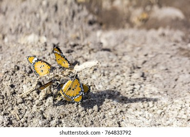 close up healthy and beautiful yellow butterfly group resting at tree roots on ground