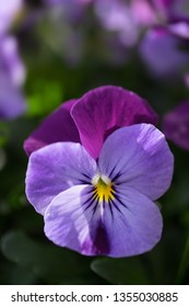 Close up of a Heartsease or Viola tricolor lit by the sun in a garden in spring. Vertical image