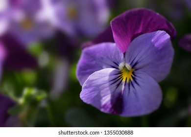 Close up of a Heartsease or Viola tricolor lit by the sun in a garden in spring