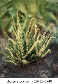 Close up heather, green heather in the garden on the ground. Close up greenery heather plant. Heather flowers hipster vintage background