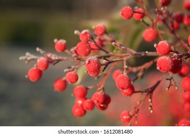 Close- up of  Heavenly bamboo  beautiful red berries coverd with frost. Nandina domestica bush in winter. Christmas or winter background