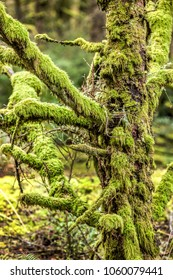 Close up of heavily moss covered tree on Fort Stevens in Oregon.