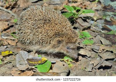 A close up of the hedgehog.