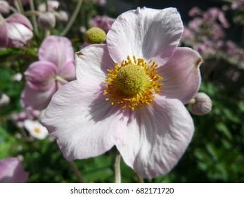 Herbst Anemone Images Stock Photos Vectors Shutterstock