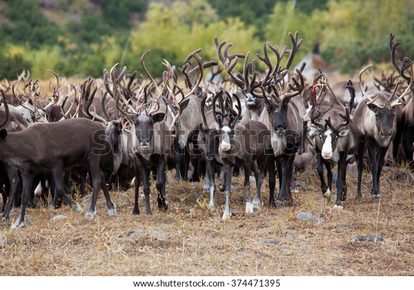 close up herd of caribou (reindeer, Rangifer tarandus) in wildlife in autumn on day