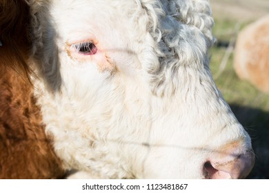 Close up of Hereford Cow