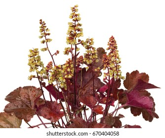 Close up of Heuchera Plant with white blossoms, an evergreen garden plant.