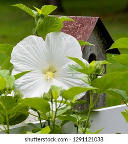 Close Up of Hibiscus Flower with Birdhouse on Fence, with selective focus on Flower.
