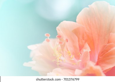 Close up  Hibiscus Flower in soft focus.Sweet coral-pink blossoms Hibiscus Flower also known as Jane Cowl Tropical Hibiscus, Queen-of-the-tropics on natural bokeh background with filter effect
