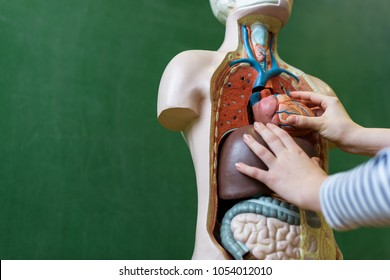 Close up of a high school student learning anatomy in biology class, putting a heart inside an artificial human body model.