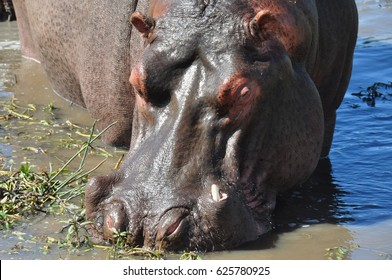 Close up of hippo