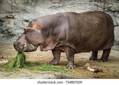 Close up hippo eating at zoo