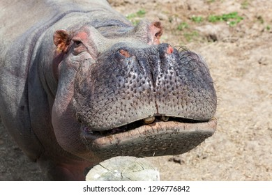 Close up of a hippopotamus face showing hairy whiskers and sweat beads with a slight grin.