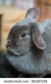 Close up Holland lop half Netherland Dwarf rabbit