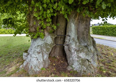 Close up of the hollow trunk of a big old linden tree held together by metal bars. Selective focus