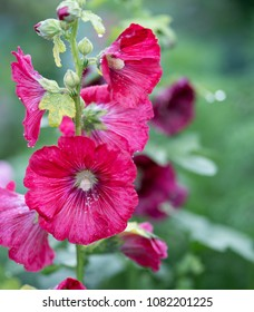 close up  Hollyhock Althaea rosea or Alcea rosea, flower on  blurred background