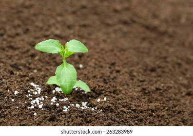 Close up of a holy basil plant in fertile soil with chemical fertilizer
