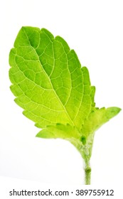 Close up of holy tulsi leaf