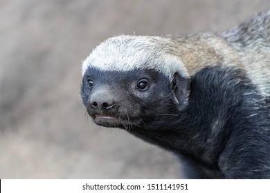Close up of honey badger