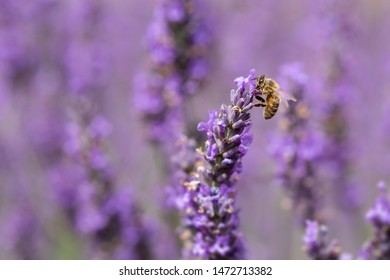 Close up of a Honey Bee, apis mellifera, on lavender flowers