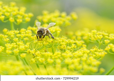 Close up of honey bee Apis mellifera collecting nectar and pollen on parsnip Pastinaca sativa flower