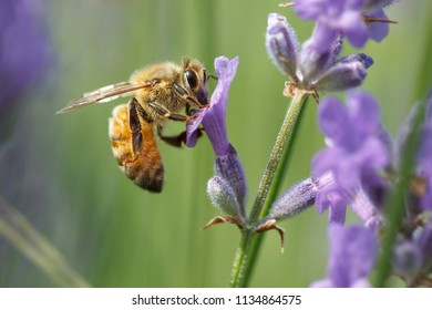 A close up of a honey bee, Apis, on a lavendar plant, Lavandula spica.