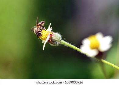 Close Up of Honey Bee flies to yellow flower ,green background