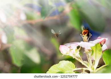 Close Up of Honey bee on Apple Tree in Spring with white blossoms
