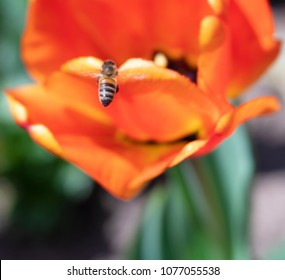 Close up of honey bee on big, bright orange tulip with soft-focus background. Photo shot locally in Boulder, CO April 2018.