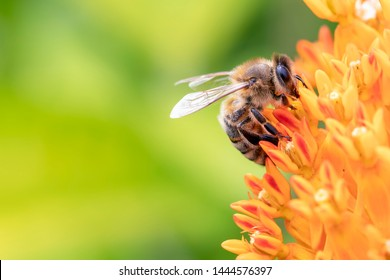 Close Up of a Honey Bee on the Orange Bloom of a Butterfly Weed