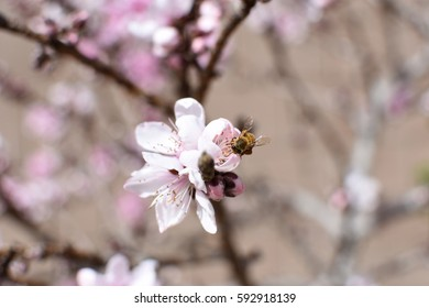 Close up of honey bee on pink and white peach blossom