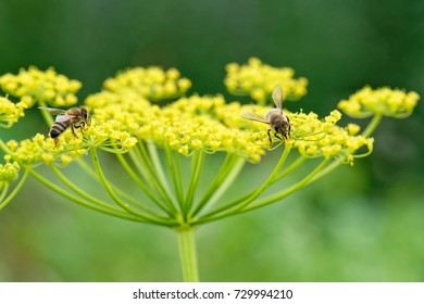 Close up of honey bees Apis mellifera collecting nectar and pollen on parsnip Pastinaca sativa flower