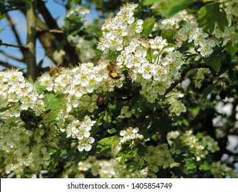 Close up of honey bees on the blooming flowers of Crataegus, commonly called hawthorn, thornapple, May-tree, whitethorn, or hawberry. Poland, Europe