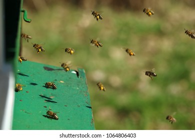 close up of Honey bees with pollen basket which flying in their hive