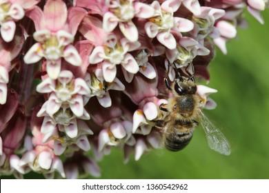 Close up of Honeybee Pollinating Milkweed Flowers