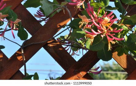 Close up of Honeysuckle climbing on wooden trellis.
