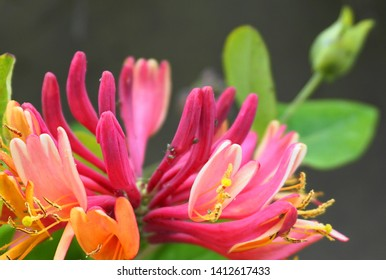 Close up Honeysuckle flowers with impressive bicolor blooms of pink and white. Lonicera periclymenum flowers, common names honeysuckle, common honeysuckle, European honeysuckle or woodbine in bloom.