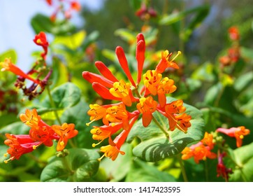 Close up Honeysuckle with two-lipped, tubular scarlet-orange flowers. Lonicera sempervirens  flowers, common names coral honeysuckle, trumpet honeysuckle, or scarlet honeysuckle, in bloom.