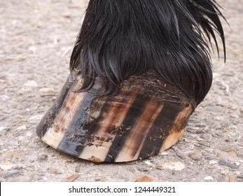Close up of the hoof of a Friesian horse on a concrete floor.  The hoof is greased with hoof oil