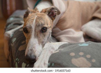 Close up horizontal portrait showing the face of a brindle and white adopted pet greyhound. Wearing a fleece jacket and resting her head on a blanket