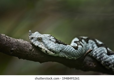 Close up of Horned viper at Paklenica National park, Croatia. Photo of dangerous grey European snake. Venomous viper at the forest with green background. Detail of the head of sand viper.