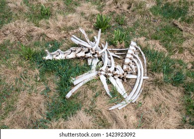 close up of the horse carcass killed and eaten by a pack of wolves on the mountains of Roccaraso in summer,(plateau) Piano Aremogna and Pizzalto, Monti Marsicani, Apennines, L'Aquila, Abruzzo, Italy