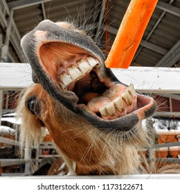 Close up horse eating carrot.