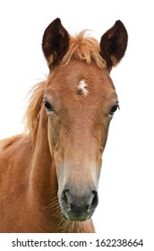 Close up of a horse face, front of the head brown horse on isolated white background