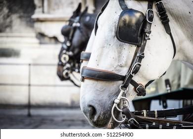 Close up of horse heads of a Fiaker in Vienna, Austria