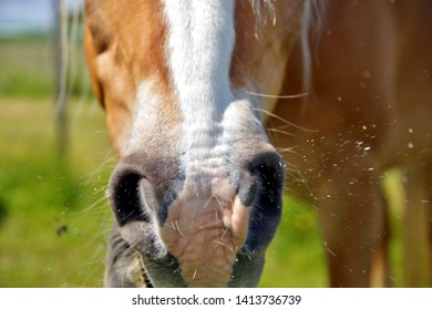 close up of horse mouth in a grassy meadow. brown horse sneezes on the background of green grass.