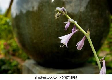 A close up of hosta flowers.
