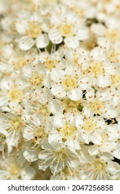 Close up hoto of multiple small white flowers