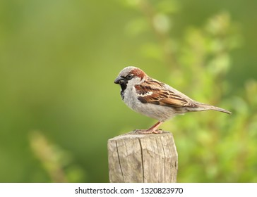 Close up of a house sparrow (Passer domesticus) perching on a wooden post against green background, UK.