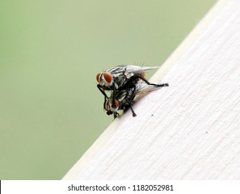 Close up of Housefly mating. Housefly (Musca domestica) is is the most common fly species found in houses.
